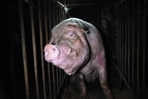 we animals solo pig in farm